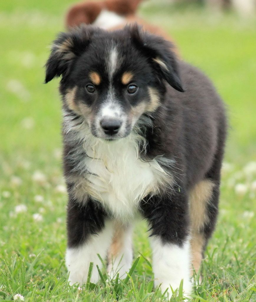 Black An White German Shepherd Golden Retriever Mix Puppies