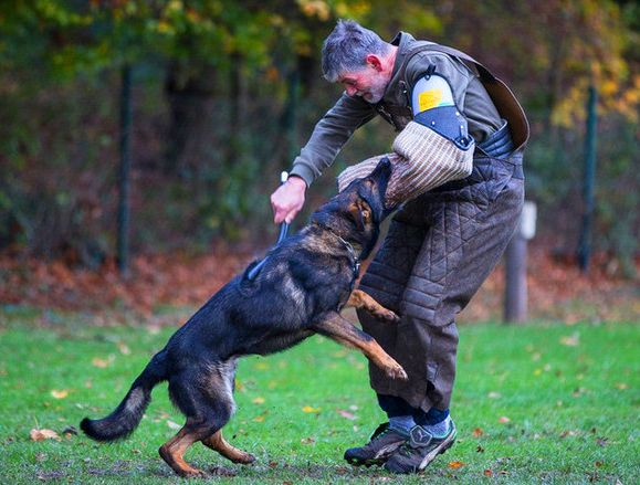 Guarddogs Author At Guard Dog Training Personal Protection Dog