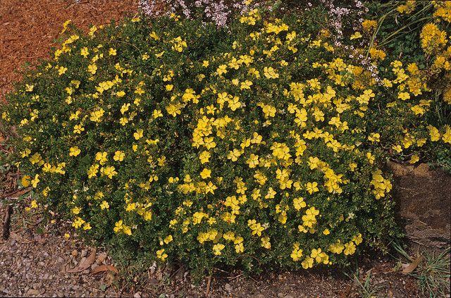 Hibbertia Obtusifolia Australian Native Garden Australian Plants Native Garden
