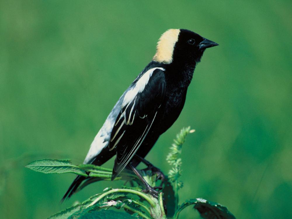 Bobolink Dolichonyx Oryzivorus By S Maslowski Usfws Birds For Kids Bird Migratory Birds