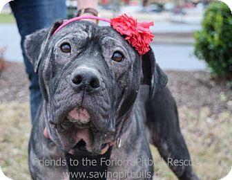The Prettiest Girl Dog Adoption Pitbull Terrier