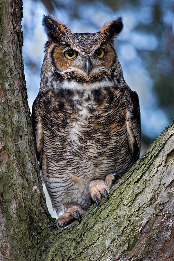 Great Horned Owl Tattoo Color Pinterest Owl Tigers And Ranges