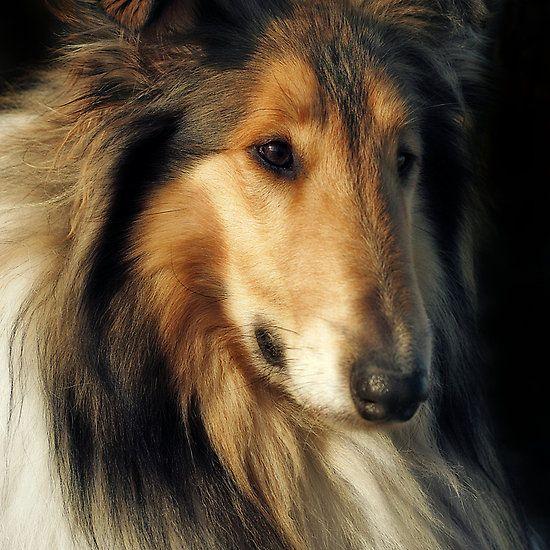 Rough Collie Photographic Print Rough Collie Collie Dog
