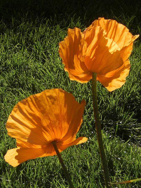 Orange Poppies  by gardenreflections, via Flickr