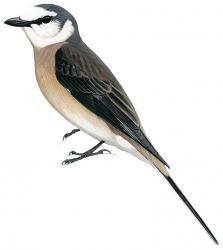 Swinhoe's Minivet (Pericrocotus cantonensis)