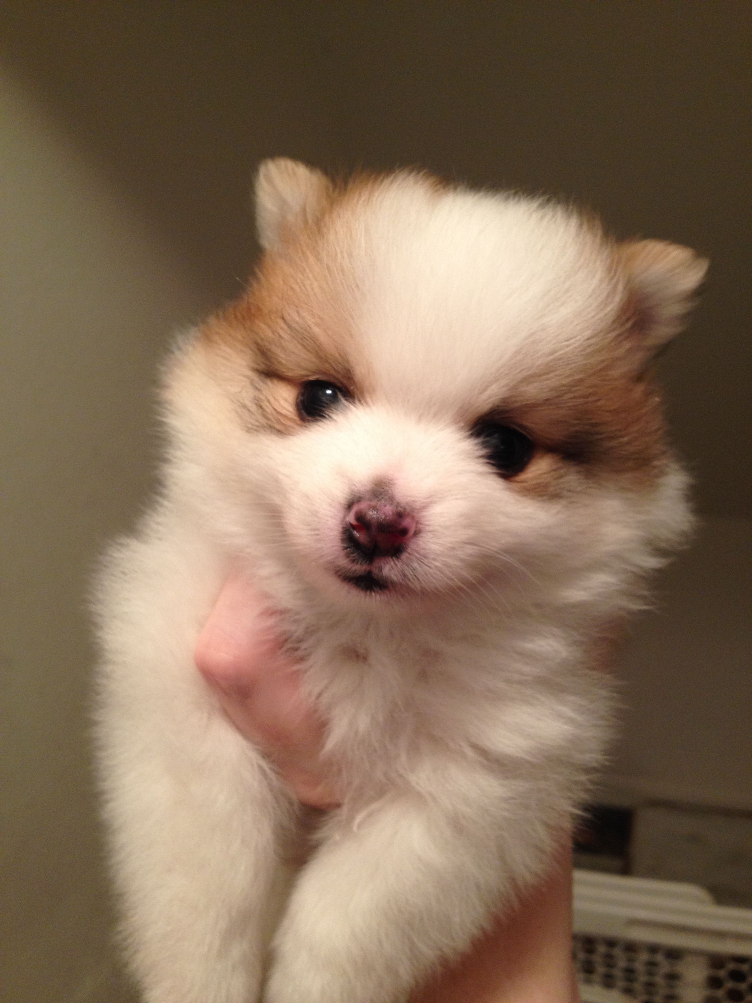Sold Ginger & Timmy's puppy born 101513 Girl 4 AKC