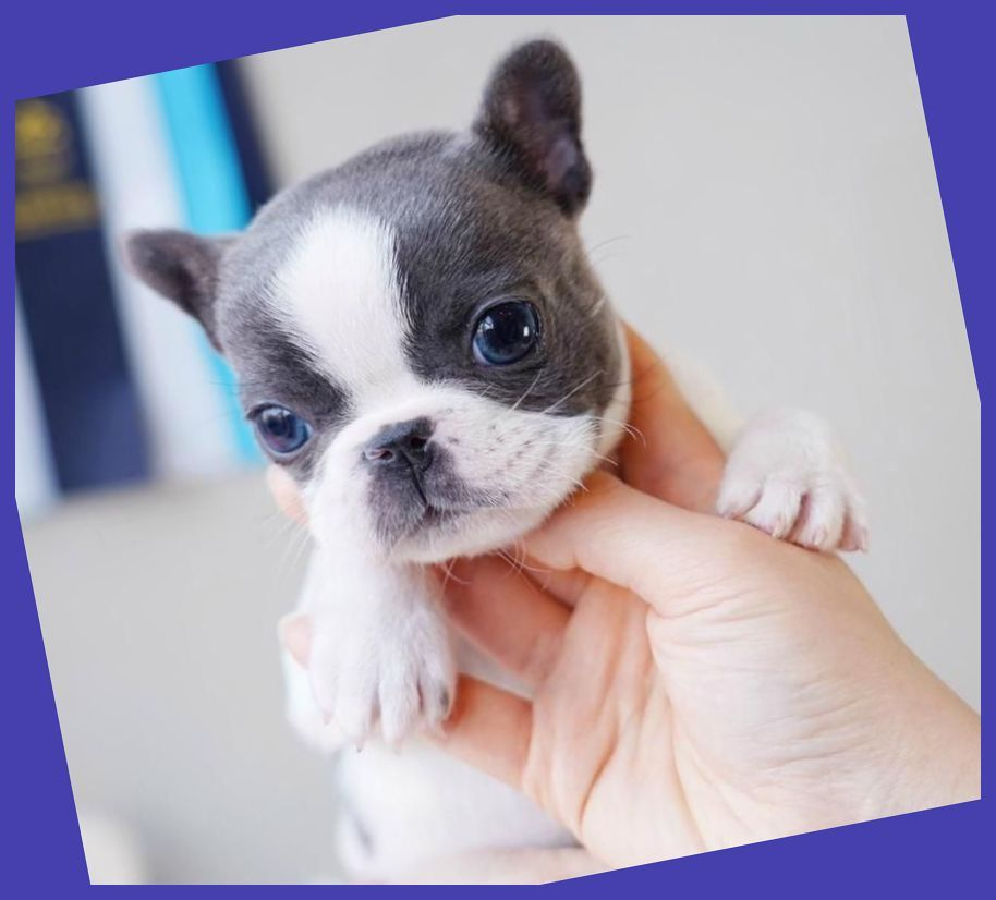 This French Bulldog Puppy Guide Will Show You Everything A Brand