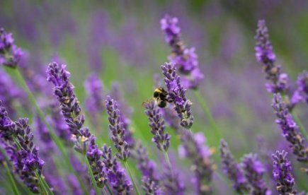 Plants That Repel Mosquitos Yards Lavender 41 Ideas #plantsthatrepelmosquitoes