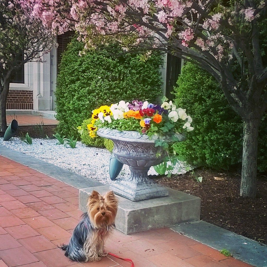 """My Yorkshire Terrier Boudicca (Boo) and I are just over half-way through our training to become a therapy dog team. Boo has developed several new skills including how to """"smile."""" This does not relate to posing for photographs (she is … Continue reading →"""