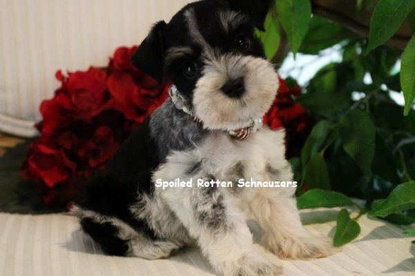 Bentley Mini Schnauzer Male Miniature Schnauzer Puppies Schnauzer Puppy Miniature Puppies