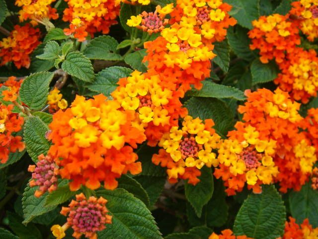 13 Common Flowers That Are Poisonous You Never Knew Lantana Flower Seeds Flowers