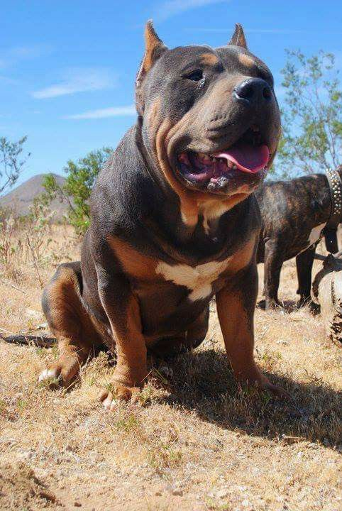 Tri Color Bully Breeds Animals Mans Best Friend