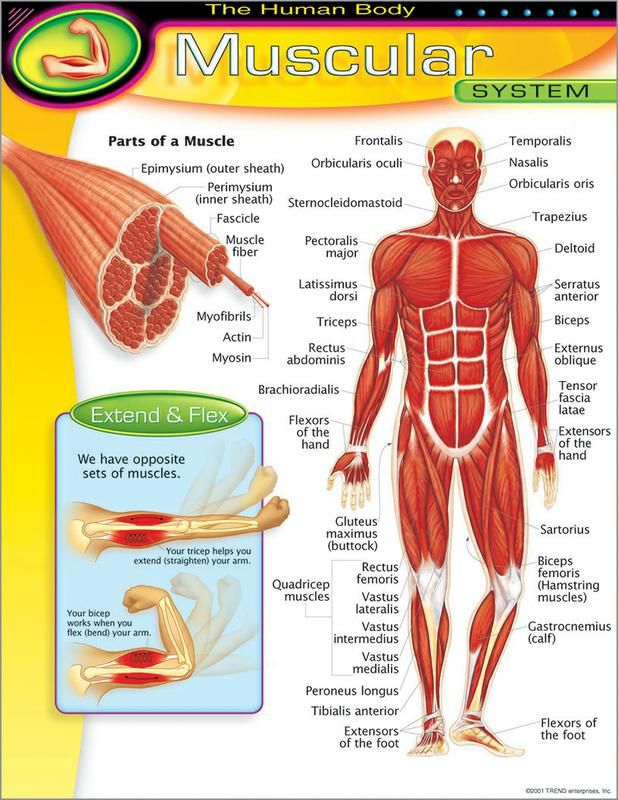 muscular system 5th grade science Google Search – The Muscular System Worksheet