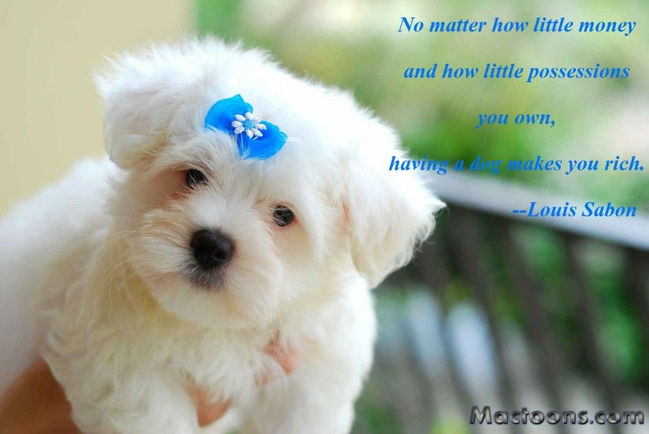 Pin By Petclub India On Quotes On Dogs Cute Puppies Maltese