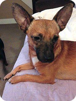 Davenport Ia Chihuahua Mix Meet Simon A Dog For Adoption Http Www Adoptapet Com Pet 14661348 Davenport Iowa Chihua Dog Adoption Chihuahua Mix Chihuahua