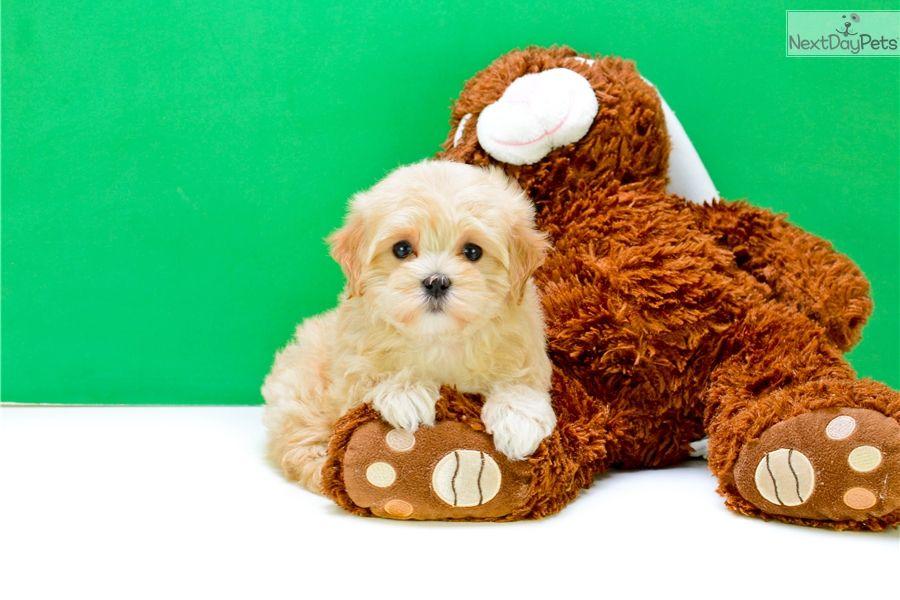 Malti Poo Maltipoo Puppy For Sale Near Columbus Ohio 10053693