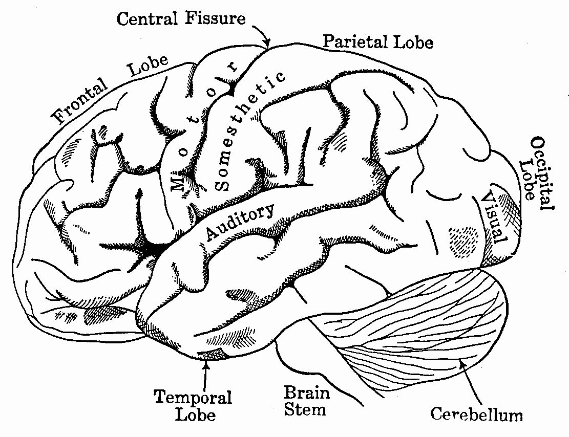 32 Human Brain Coloring Book Halloweenfiles Com Drawing Book Pdf Human Anatomy Drawing Anatomy Coloring Book