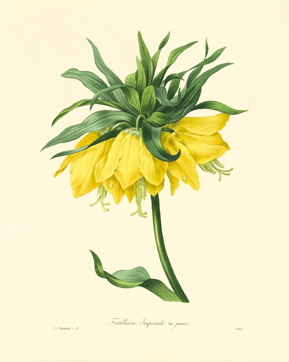 Yellow+Lily+vintage+flower+print+Cottage+wall+by+VictorianWallArt,+$10.00