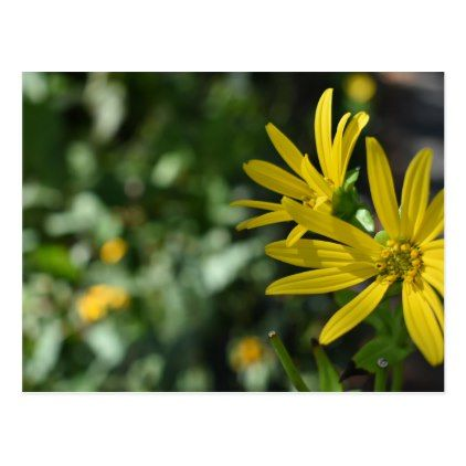 Yellow Daisy Flower Floral Nature Photography Postcard
