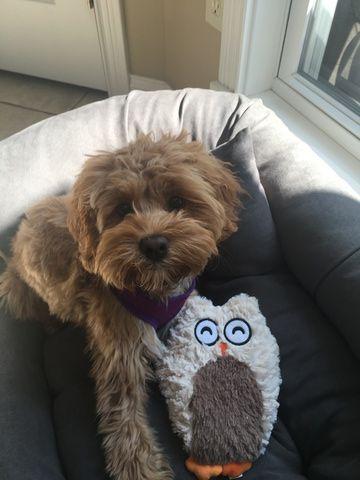 Cavapoo Puppy For Sale In Cincinnati Oh Adn 39979 On Puppyfinder
