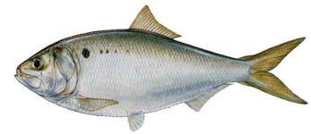 Interjurisdictional Fisheries Program (IJF) - Fishery Profiles - Gulf Menhaden | Gulf States Marine Fisheries Commission (GSMFC)
