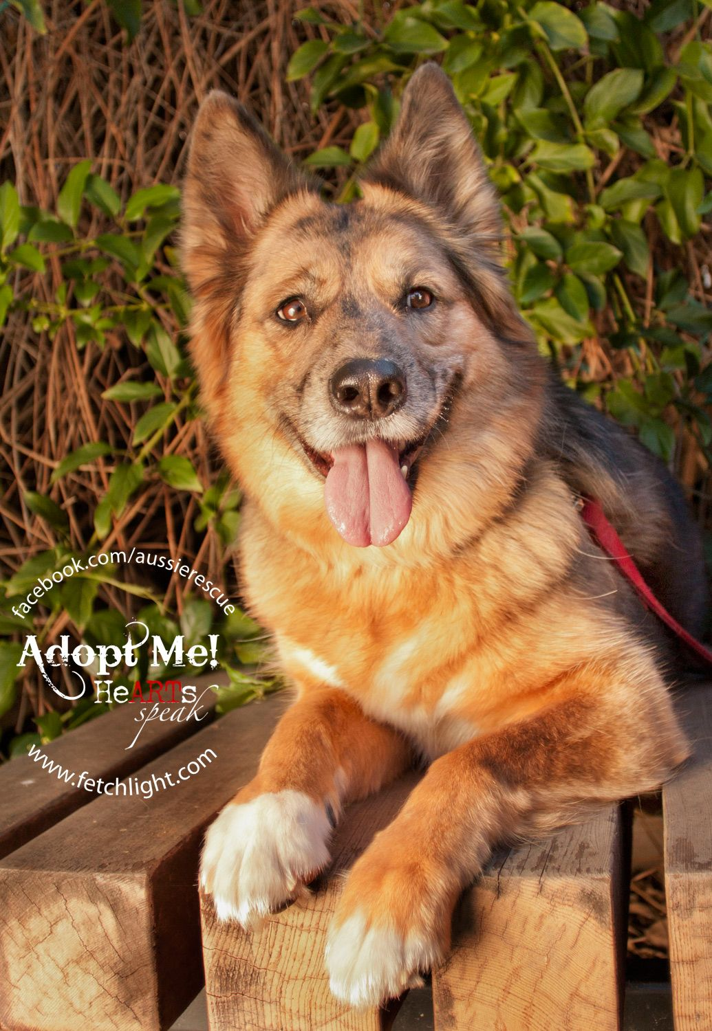 Tootsie is available to adopt from Aussie Rescue San Diego