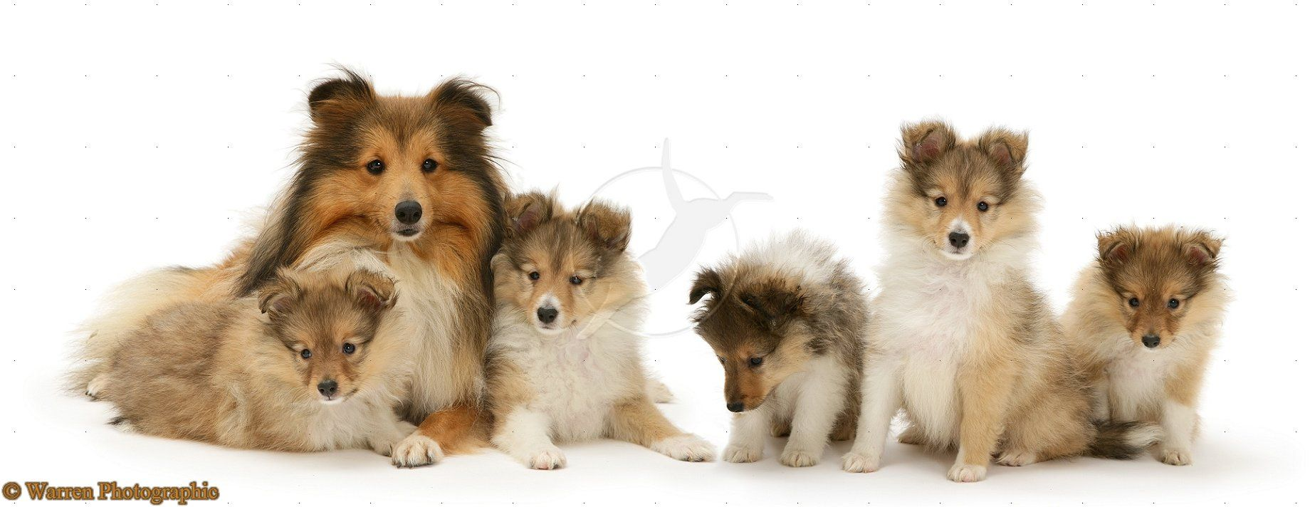 Google Image Result For Http Www Warrenphotographic Co Uk Photography Bigs 14566 Sable Shetland Sheepdog Sheltie Puppy Dog Photos Shetland Sheepdog Sheltie