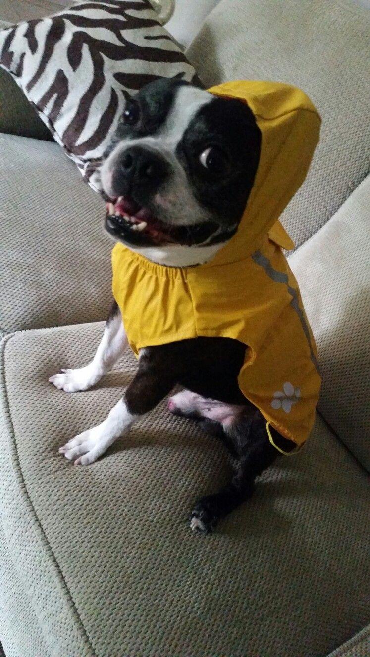 Tbone The Boston Terrior In His New Rain Coat Boston Terrier