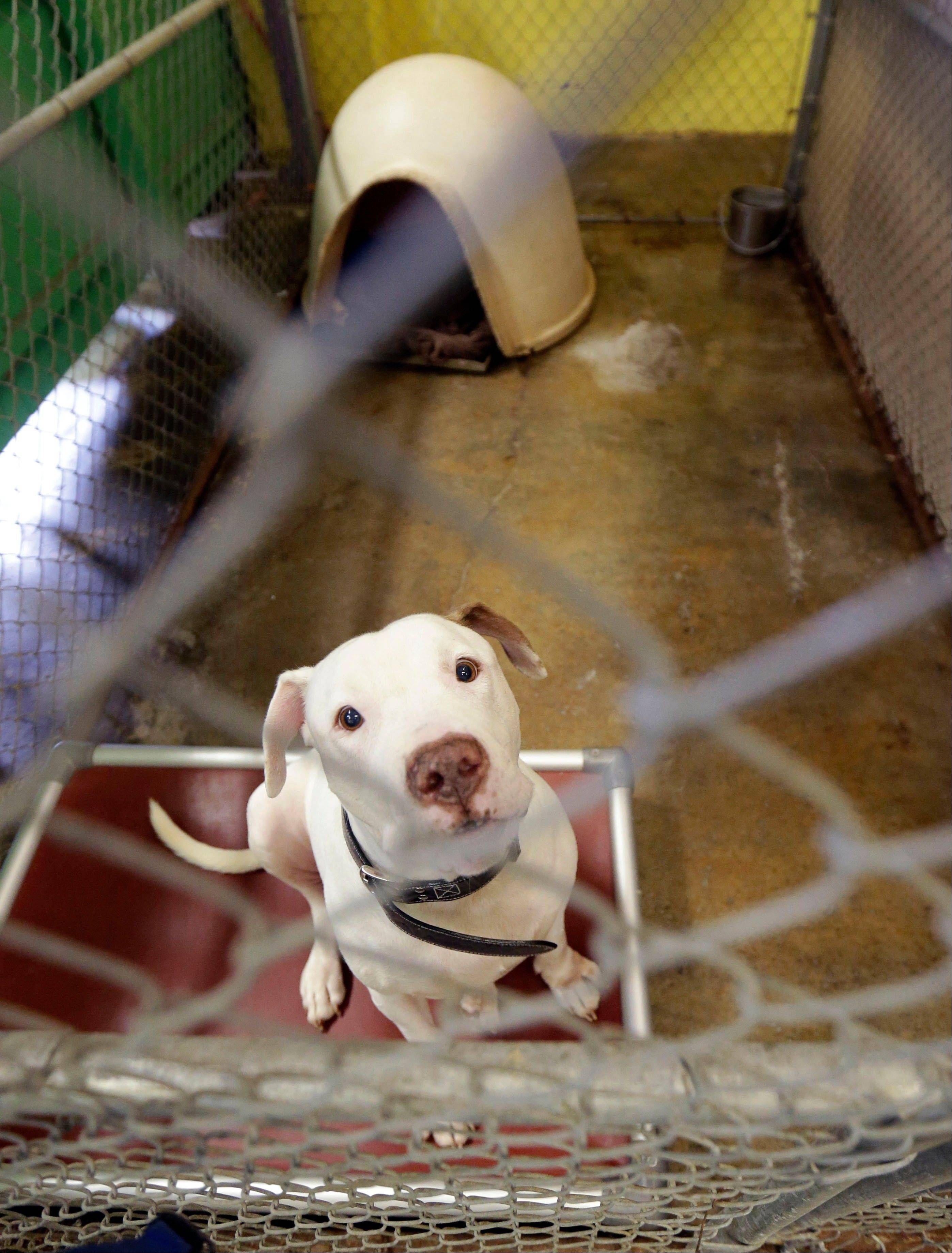 Pit Bulls And Perolees Rescued Dog Pitbulls Villalobos Rescue Center Pit Bulls Parolees
