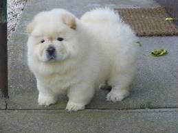Chow Chow Puppies Google Search Chow Puppies For Sale Cute