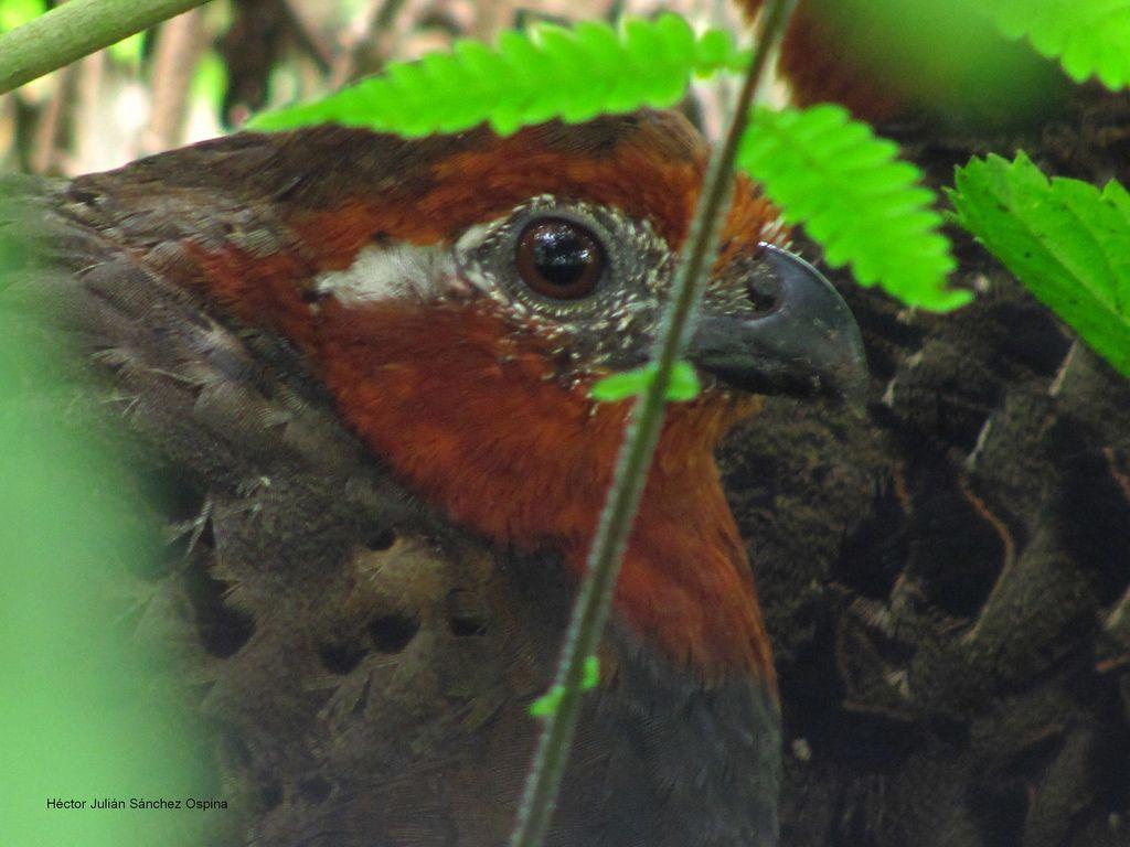 Odontophorus hyperythrus (Chestnut wood-quail) Perdiz colorada. Hembra