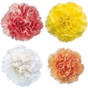Pastel Mixed Carnation Flower Fiftyflowers Com Carnation Flower Spring Wedding Flowers Wholesale Flowers