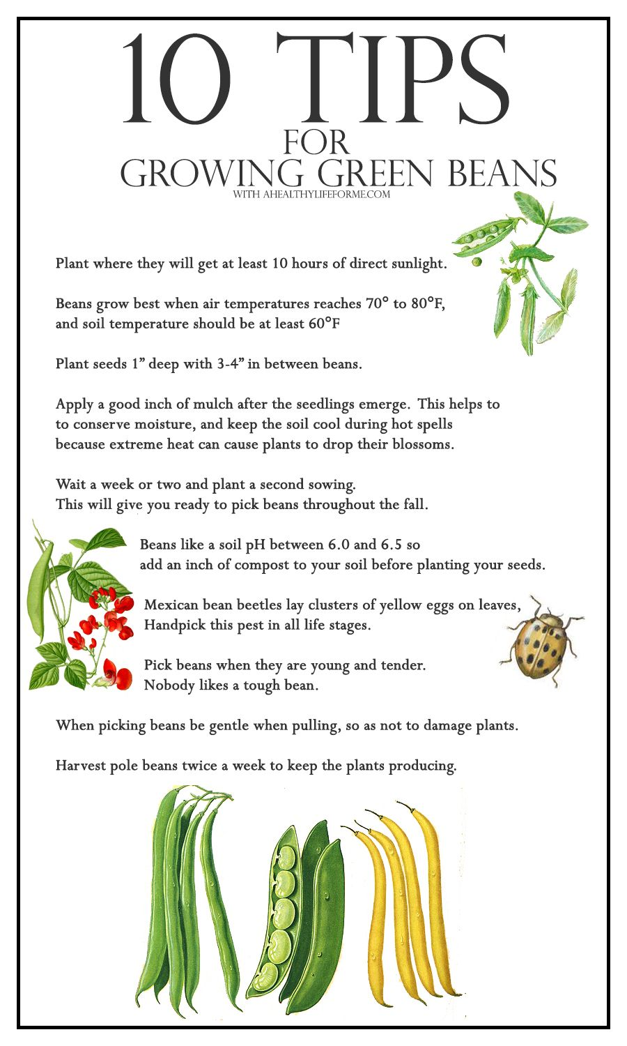 10 Tips For Growing Green Beans A Healthy Life For Me Growing Green Beans Growing Greens Growing Zucchini