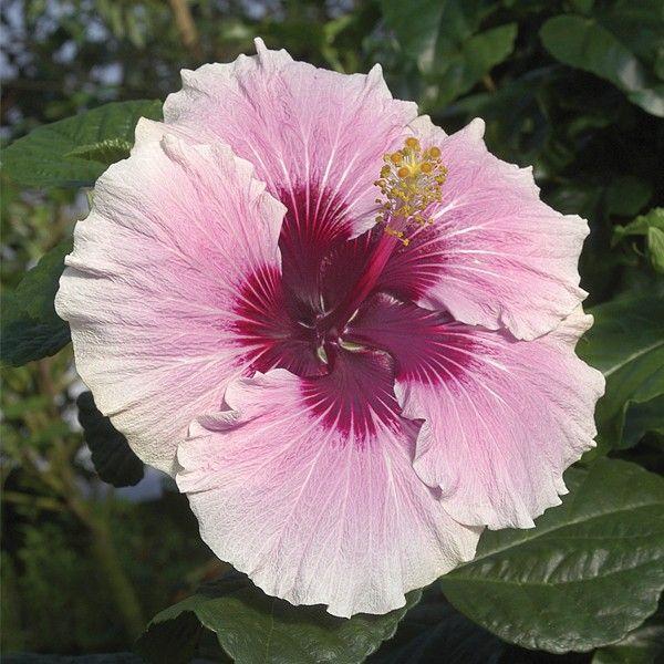 Hibiscus High Voltage Hibiscus Rosa Sinensis Hybrid Hibiscus Rosa Sinensis Hibiscus Plant Hibiscus Flowers