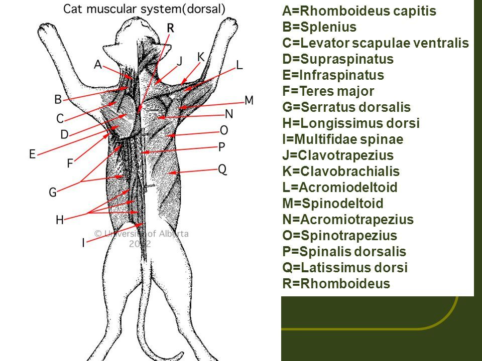 Image result for where is the rhomboideus capitis in the cat ...