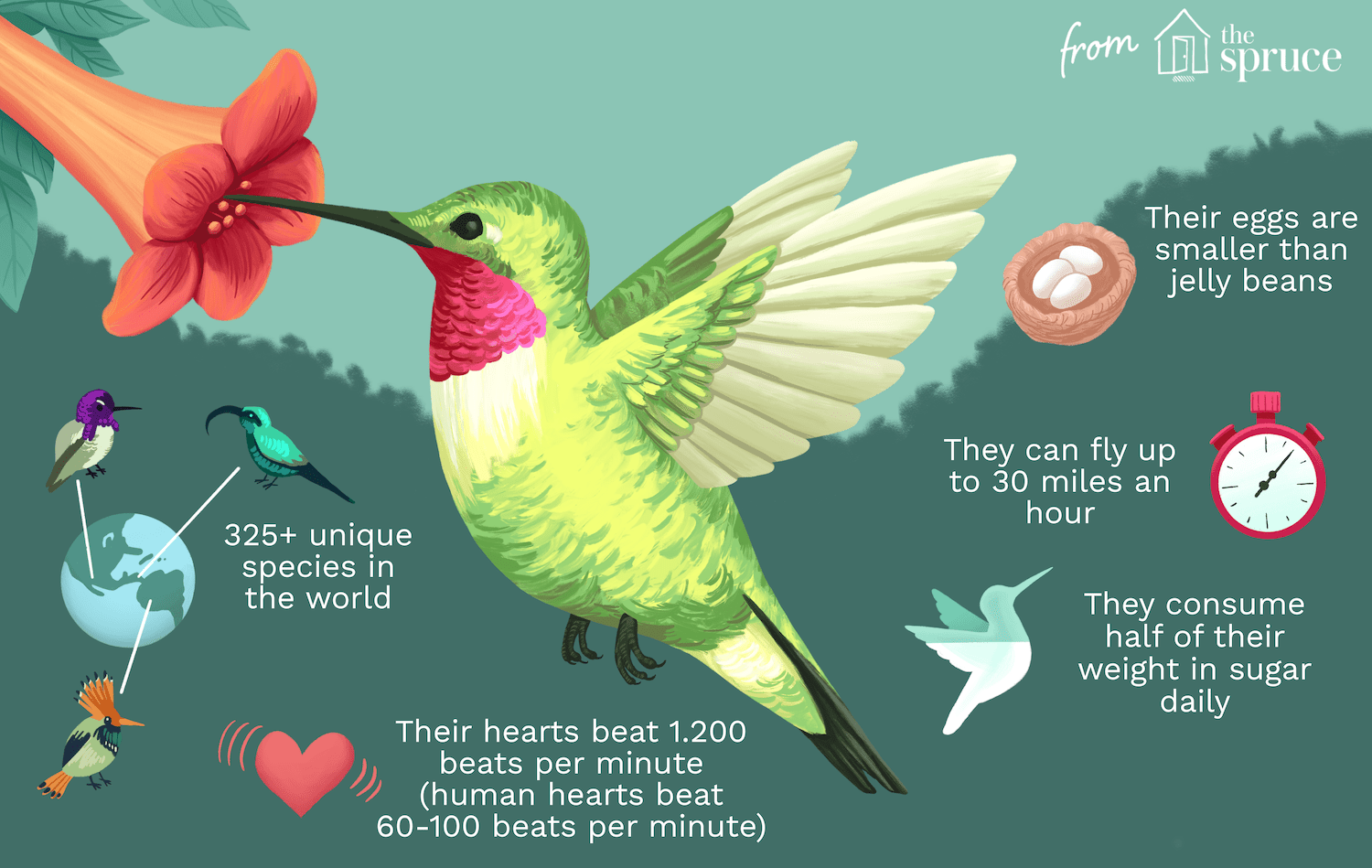Discover 25 Fun Facts About Hummingbirds Hummingbird Illustration Hummingbird Facts