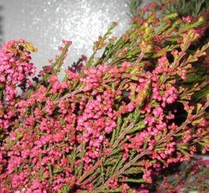 Bulk Discount Flowers - Pink Heather