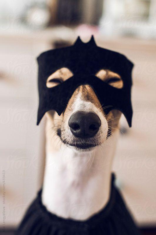 Happy Dog Dressed As Superhero For Halloween Greyhounds