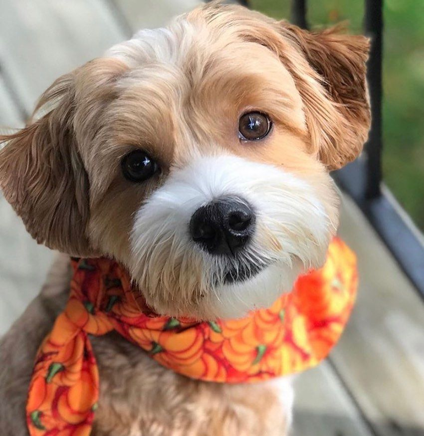 This is Cooper, a Havenese pup from Minneapolis who is here to brighten up your Thanksgiving. To everyone who isn't able to spend time with friends or family today, because of the pandemic, we wanted to give you the ultimate dose of joy just looking at this pup's adorable face! 🥰 🐶 ❤️ Happy Thanksgiving to all our USA friends! #thanksgiving #havanese #thatface #havaneselovers #wowiedogs