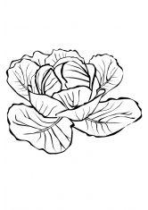Раскраска Капуста | Раскраски, Овощи, Капуста