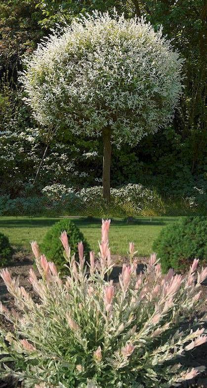 japanische harlekinweide japanische g rten und pflanzen. Black Bedroom Furniture Sets. Home Design Ideas