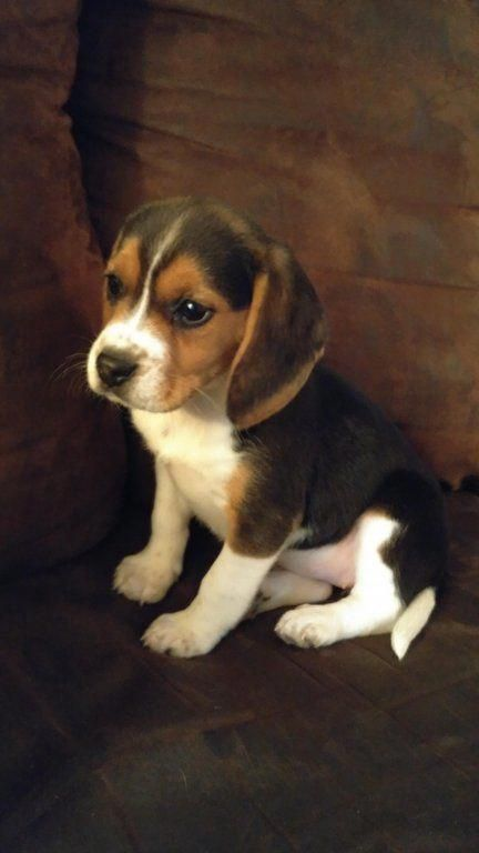 Fortheloveofpets Dog Breeds Beagle Puppy Dogs