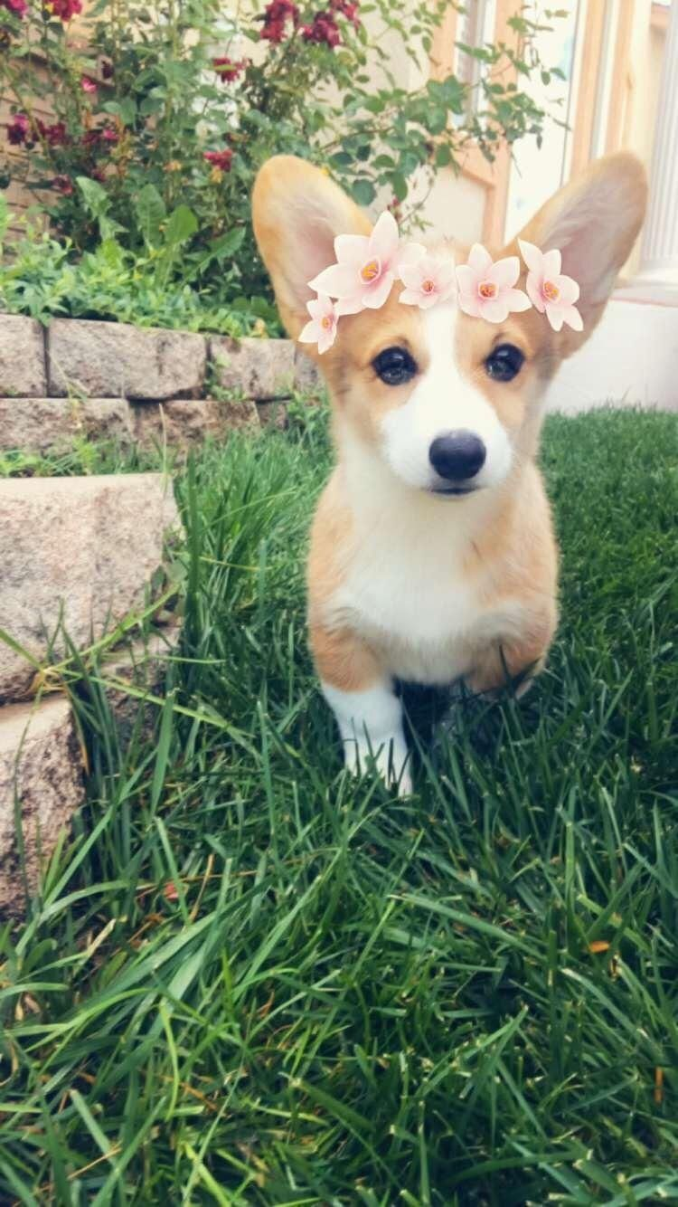 The Queens Corgis Happy Corgi At Queenscorgi Tumblr Com Cute