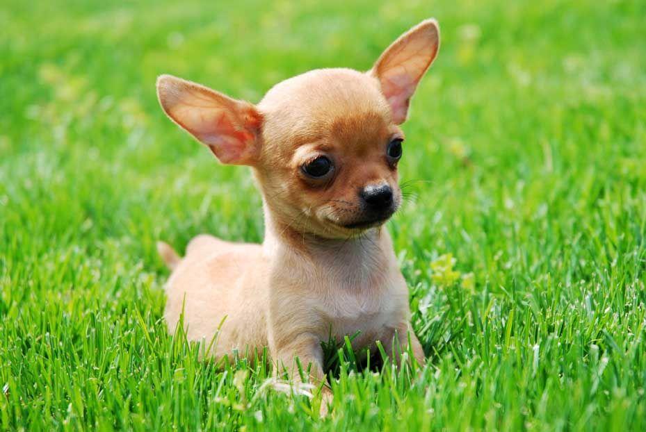 Razas De Perros Pequeños De Pelo Corto Estimado Lector