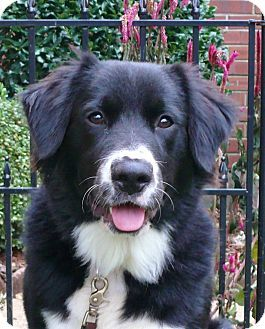 Border Collie Newfoundland Mix Dog Dog Crossbreeds