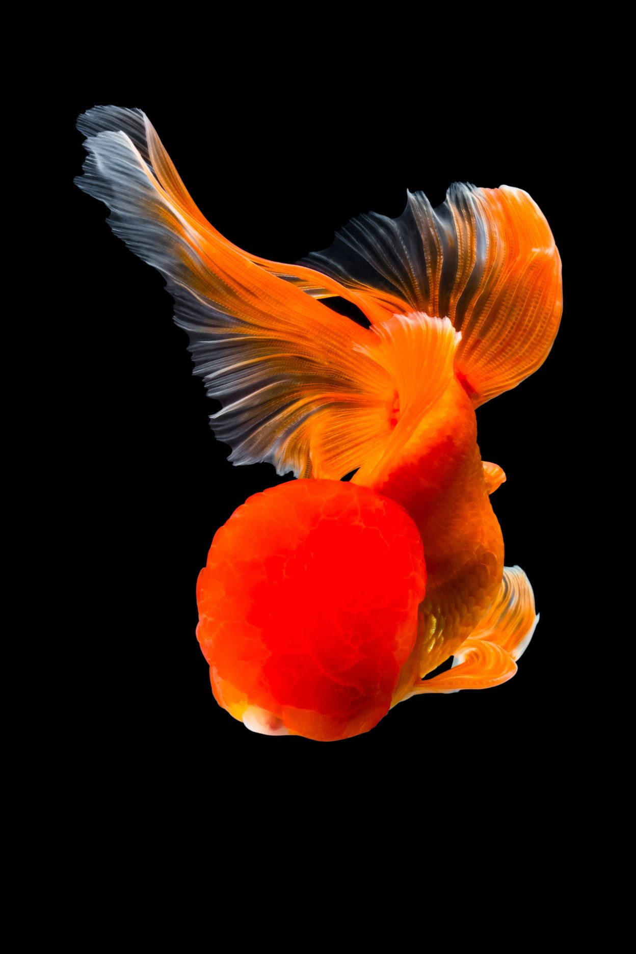 Richly Hued Portraits Of Elegant Chinese Goldfish By Tsubaki Goldfish Fish Art Colossal Art