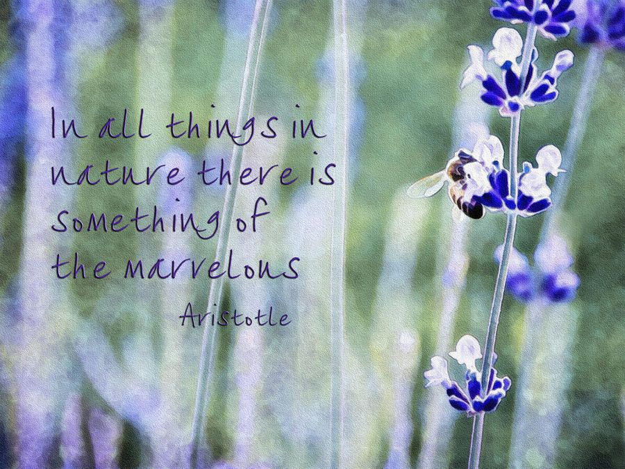 Bee And Lavender With Quote By Marion Mccristall Lavender Quotes Flower Quotes Quotable Quotes