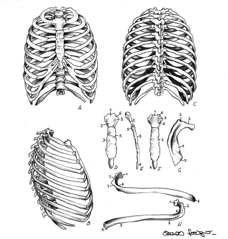 41++ How to draw ribs ideas