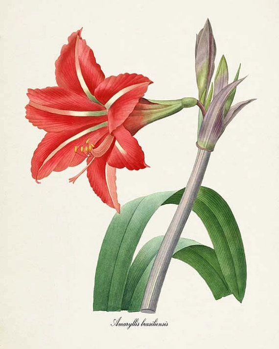 Amaryllis Flower Art Print Botanical Art Print Flower Wall Etsy Flower Prints Art Botanical Art Botanical Prints
