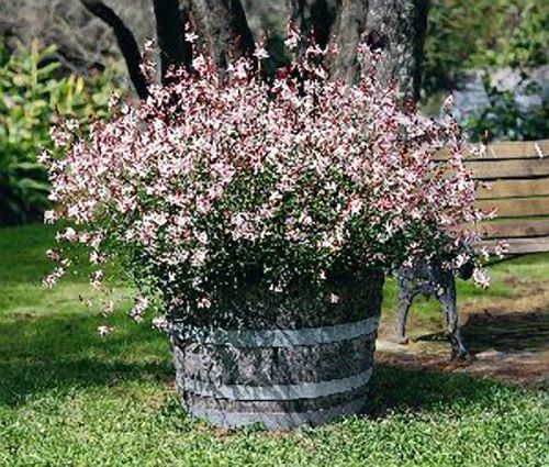 Gaura Zone 5-9 Would Look Great In Container Like Shown